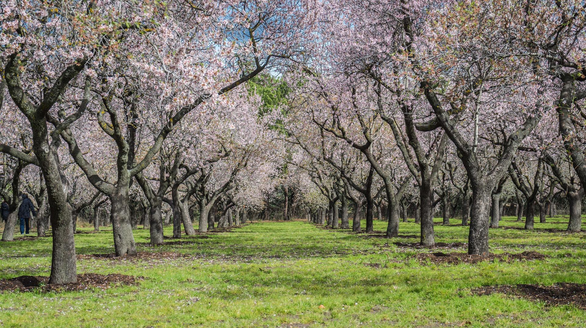 almond-tree-1226318_1920